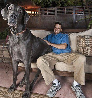 """Всего одна позиция отделяет немецкого дога от звания самой большой собаки в мире. Минимальный рост этого пса в холке — 80 см, вес дога может достигать 90 кг. Самой высокой собакой в мире был признан дог по кличке Шамгрет Донзас из Великобритании (1975-1984). Высота в холке этого великана составляла 105,4 см, а вес — 108 кг. В настоящее время его рекорд побил дог по кличке Джордж, он выше своего """"соплеменника"""" на 3,6 см."""