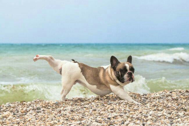 Pin By Samantha Snyder On Dreambig French Bulldog Cute French