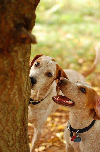 red tick coonhound | redtick coonhound # redtick ...