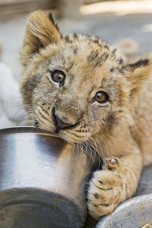 catxlyst: A cub and his bowl by Tambako The Jaguar on Flickr.