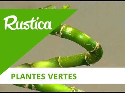 Cultiver le Lucky bamboo - YouTube