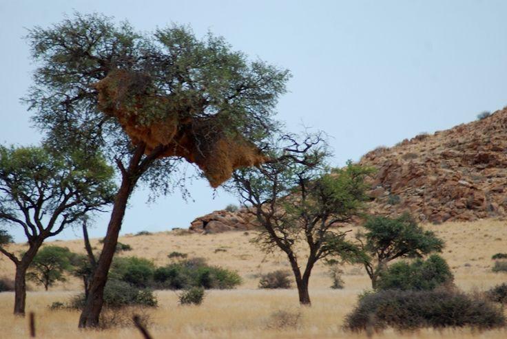 Sociable Weaver's nest