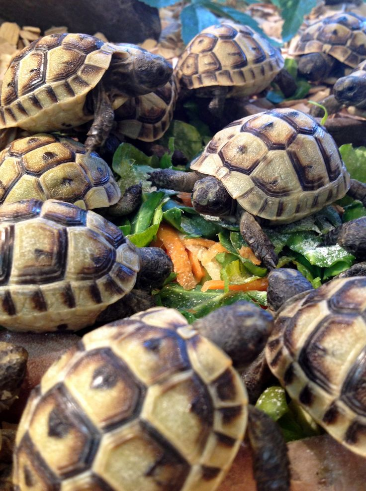 A 'herd' of baby tortoises tucking into their lunch at Northampton Reptile Centre.