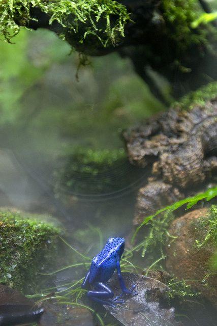 Blue Poison Dart Frog (South America).