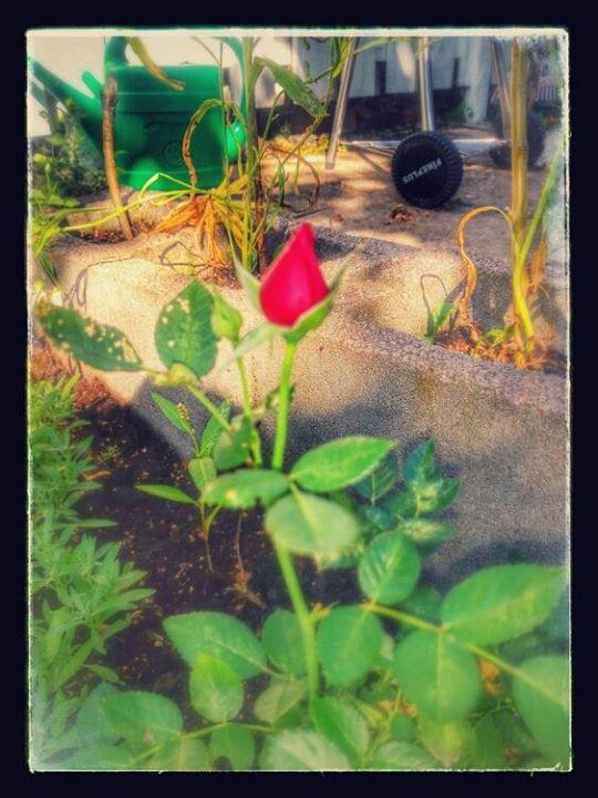 Ruusu puutarhasta