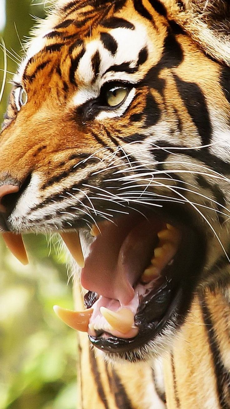 """""""Do you really want to do that? Think again. Watching you!"""" big cat, tiger, face, teeth, anger"""