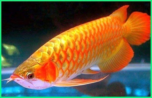 7 Jenis Ikan Arwana Termahal Di Dunia Dan Harganya Aquarium Air Tawar Ikan Akuarium Dan Ikan Tropis