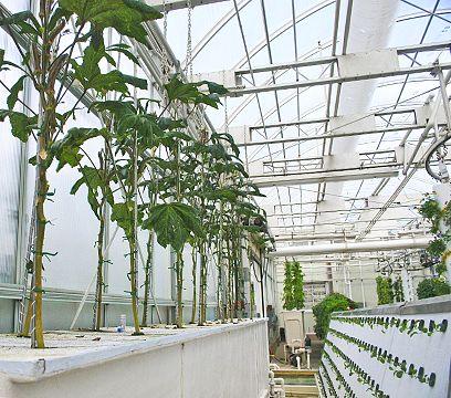 Okra Grown Via Aeroponics Sustainability Hydroponic