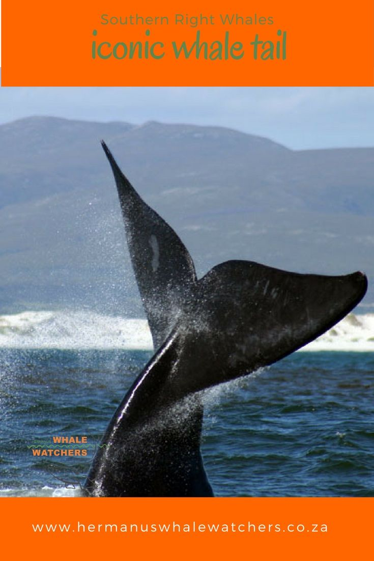 Southern Right whales use their iconic tails for sailing in the wind.