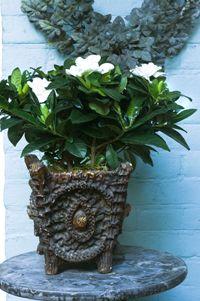 Gardenia's lijken op bruidsboeketten en corsages. Ze geven het gevoel van een uitbundig feest, sjiek én stijlvol. De gardenia wordt ook wel Kaapse jasmijn genoemd en is een karakter op zich. Ze is een geurige aristocrate, maar blijft altijd gezellig en bescheiden.