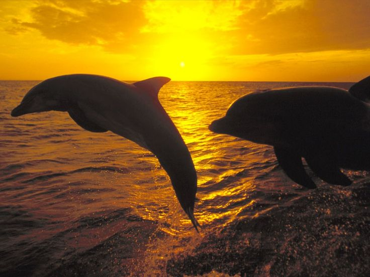 DolphinsSea Creatures, Sunsets Beach, Gulf Shore, The Ocean, Marines Biology, Sunris, Water World, Sea World, Beautiful Creatures
