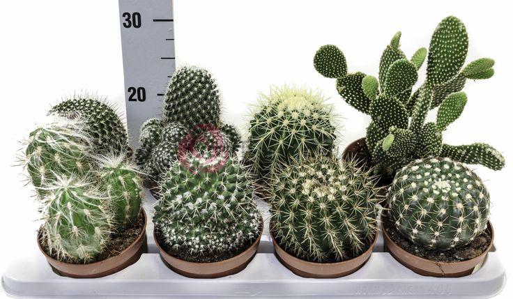 Cactus Mix POT12cm #Eurosa #ProducedThroughGreenTechnology