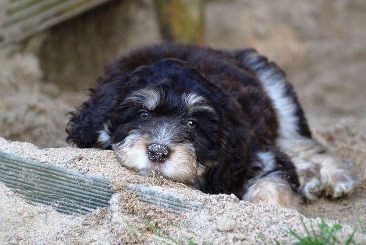 Aussiedoodle Breed Information Adorable Puppies And Dogs Dog