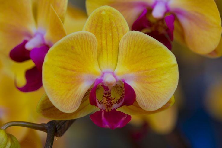Yellow Orchid Flower | Orchidaceae – Flowers from the ...