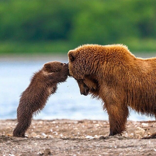 Regram @Natgeo.Wildlife Check out this awesome account for the best wildlife photos! @Natgeo.Wildlife Grizzly Bear Mother And Cub Playing | Photography By © Sergei Ivanov #WildlifePlanet