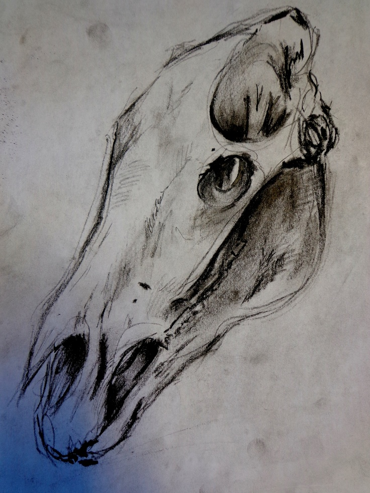 ars-et-scientia:    horse skull in charcoal, quick sketch.