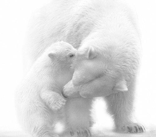 b e a r s: Mothers Love, Sweet, Art, Pure White, Polarbear, Baby Animal, Cubs, Baby Polar Bears, Snow White