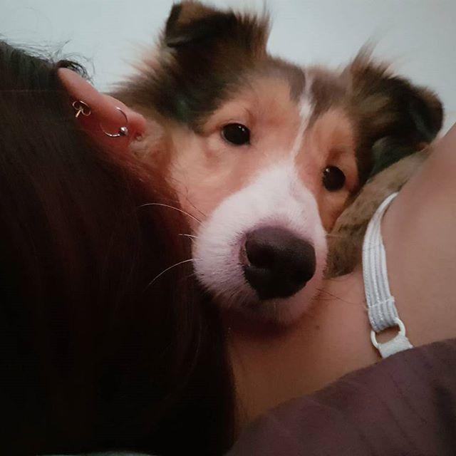 ママの頭は私が守るからね!!😉♥️ I'll protect your head Mom! 💪✨ ❉ ❉ ❉ #rose #roestagram #dogslover #dogsofinstgram #dogstagram #petstagram #instapets #instadog #sheltielove #sheltie #shetlandsheepdog #lovesheltie #dogs #pets #mydog #mylove #loveofmylife #dogsinsingapore #singapore #headprotector #わんこ #犬 #犬部 #愛犬 #ローズ #シェルティ #シェットランドシープドッグ #ただ頭乗ってけるだけとも言う #守りの姿勢 #みんなを笑顔にできたらいいな