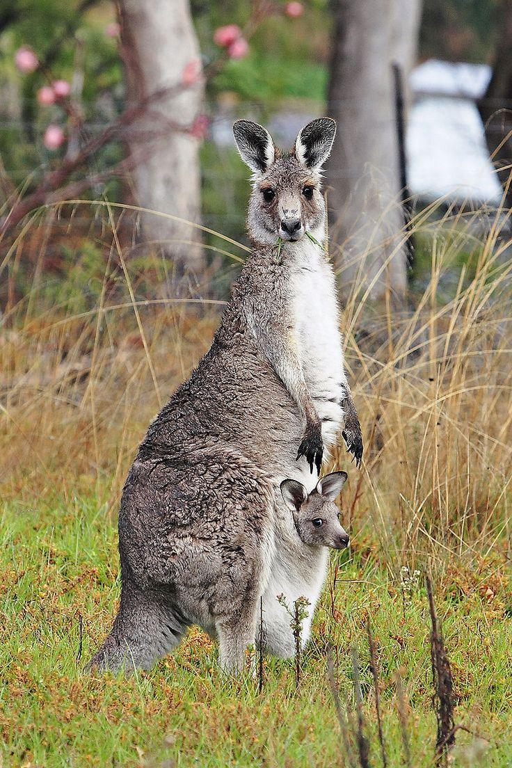 81 besten Marsupials (Marsupialia) Bilder auf Pinterest | Animal ...
