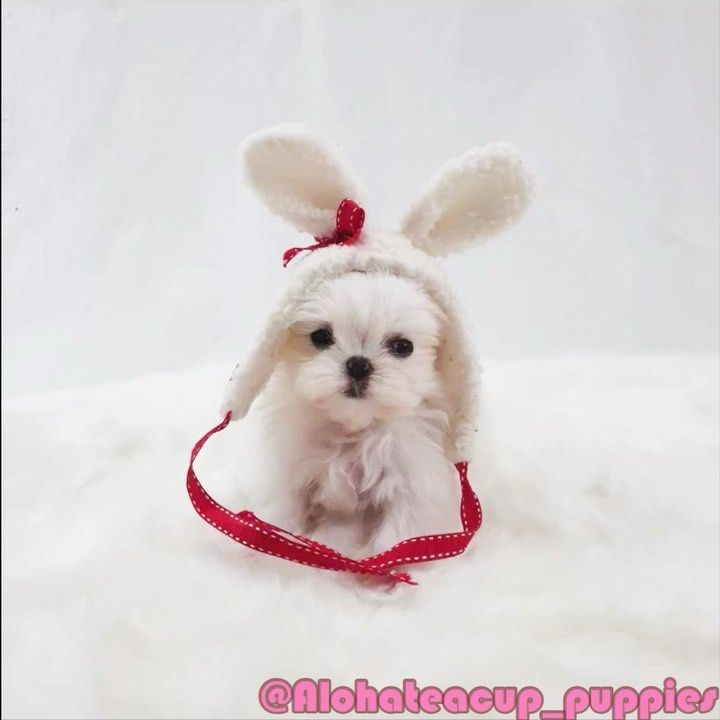 Teacup Maltese Come Here Https Www Alohateacuppuppies Com Ask Quick Question This Way Ema Teacup Puppies Teacup Puppies For Sale Teacup Maltese