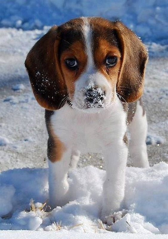 CHIOTS OU CHIENS DANS LA NEIGE.........WHAT A CUTE DOGGIE.......HOW COULD YOU NOT LOVE THIS DOG