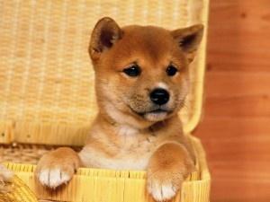 I want one!: Puppies, Shiba Inu, Dogs Breeds, Pet, Baskets, Peek A Boo, Cute Dogs, Animal, Shibainu