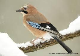 British garden birds - Jay Occasionally flies through