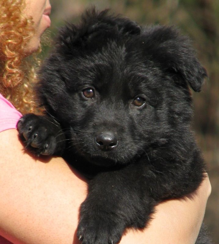 Puppy For Sale Rehoboth Long Coat German Shepherd Dogs Dogs