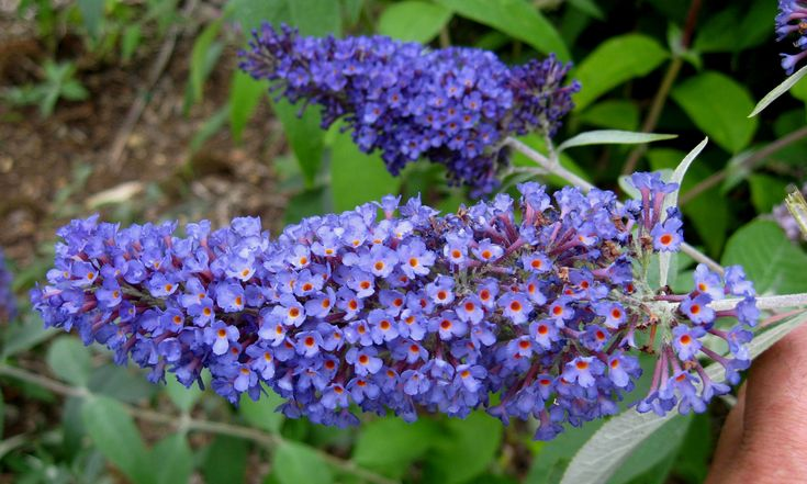The Butterfly Bush is an easy care perennial that blooms early summer to mid fall. It's cold hardy, heat and drought tolerant.The Butterfly Bush likes full sun, and will grow about 2 ft. tall, and 2 ft. wide. To bring butterflies to your yard get yours at Green's Produce and Plants 3001 W Arkansas Ln. Arlington TX 76016