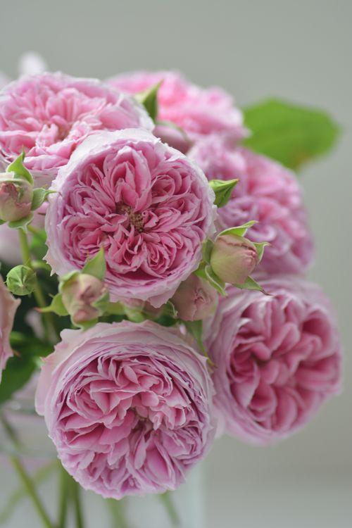 Hora Rose