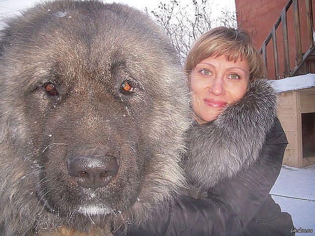 Самая большая и самая дорогая собака в мире,ее вес достигает 112кг.Тибетский мастиф.