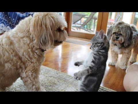 Perros conociendo por primera vez a pequeños gatitos
