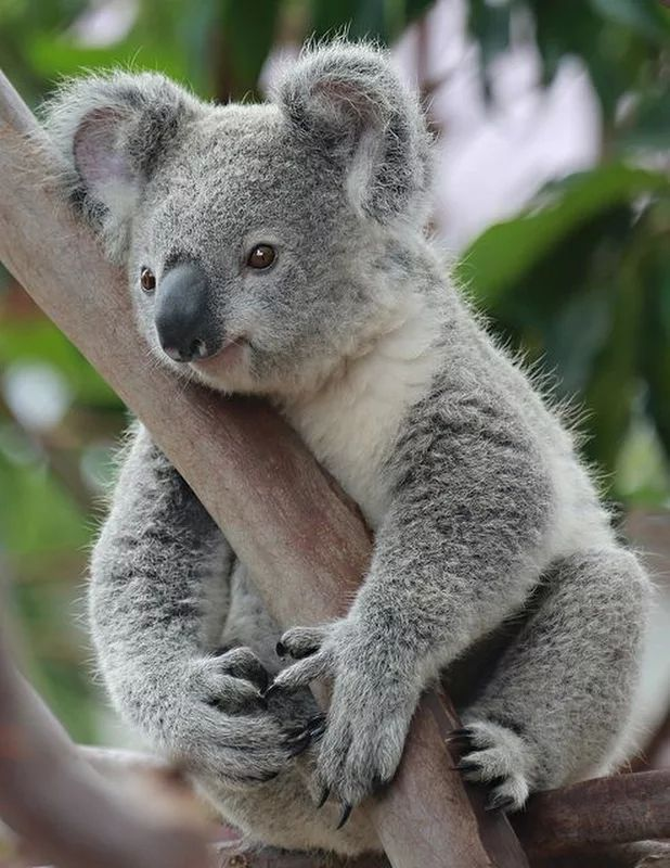 8 best koala images on Pinterest | Animal babies, Cute ...