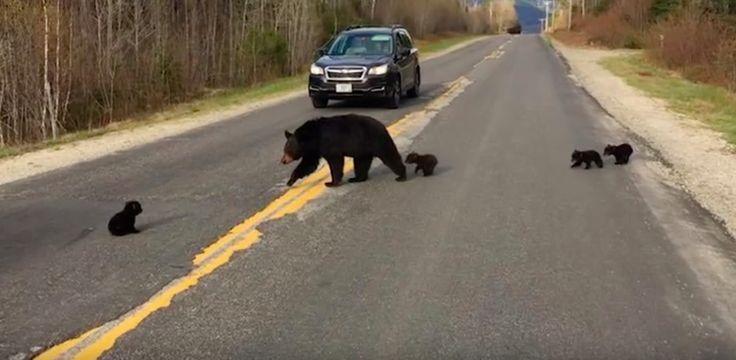Cops Rescue Little Bear Cub Who Was Too Weak To Cross The