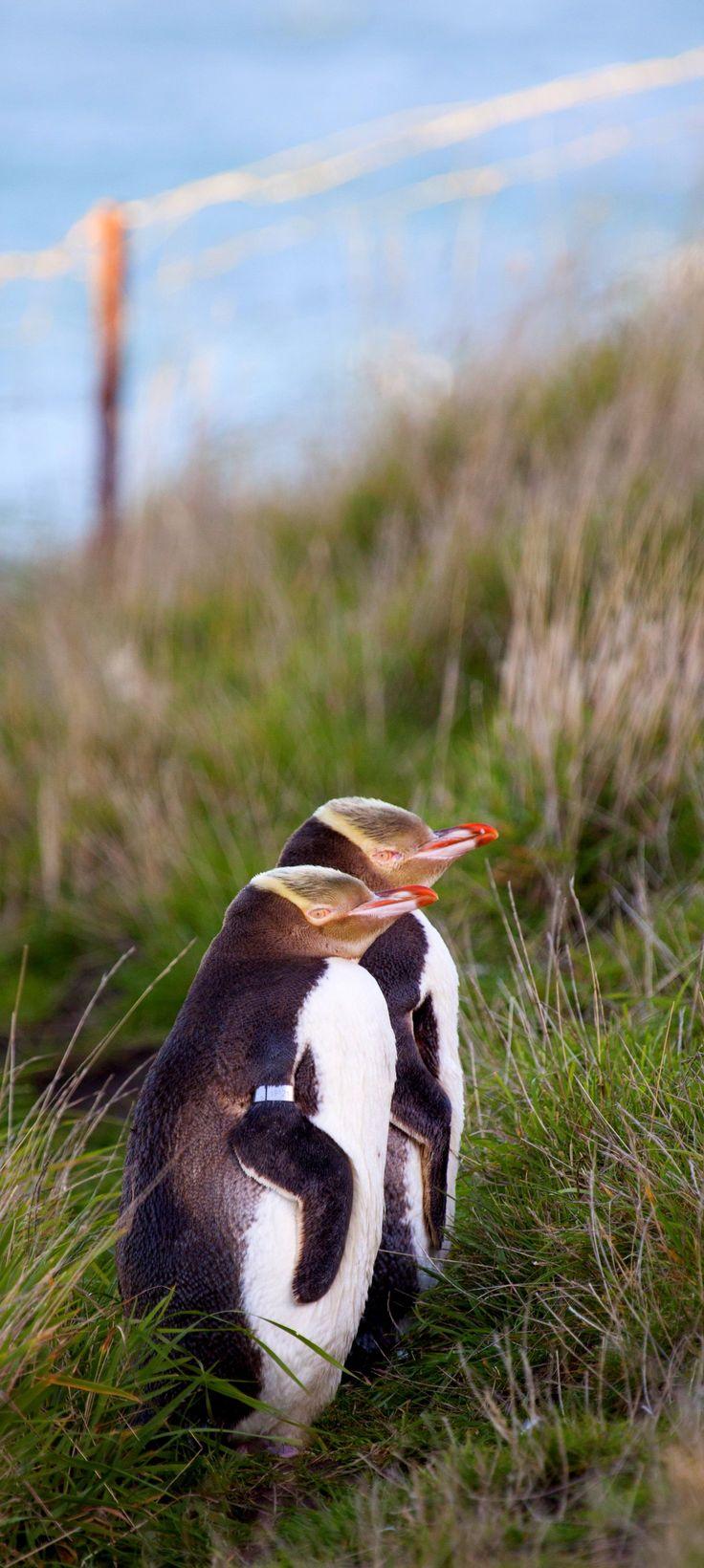Visiting Penguins in Waitaki, New Zealand.