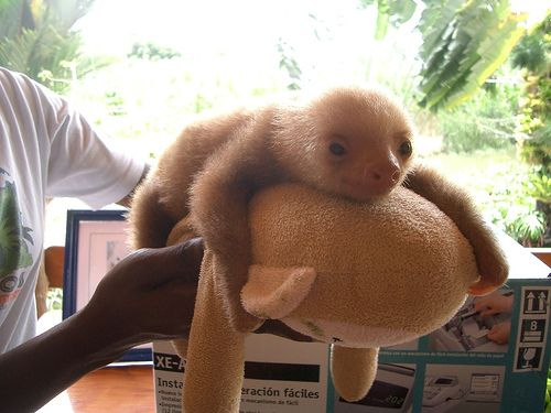 cutest sloth ever
