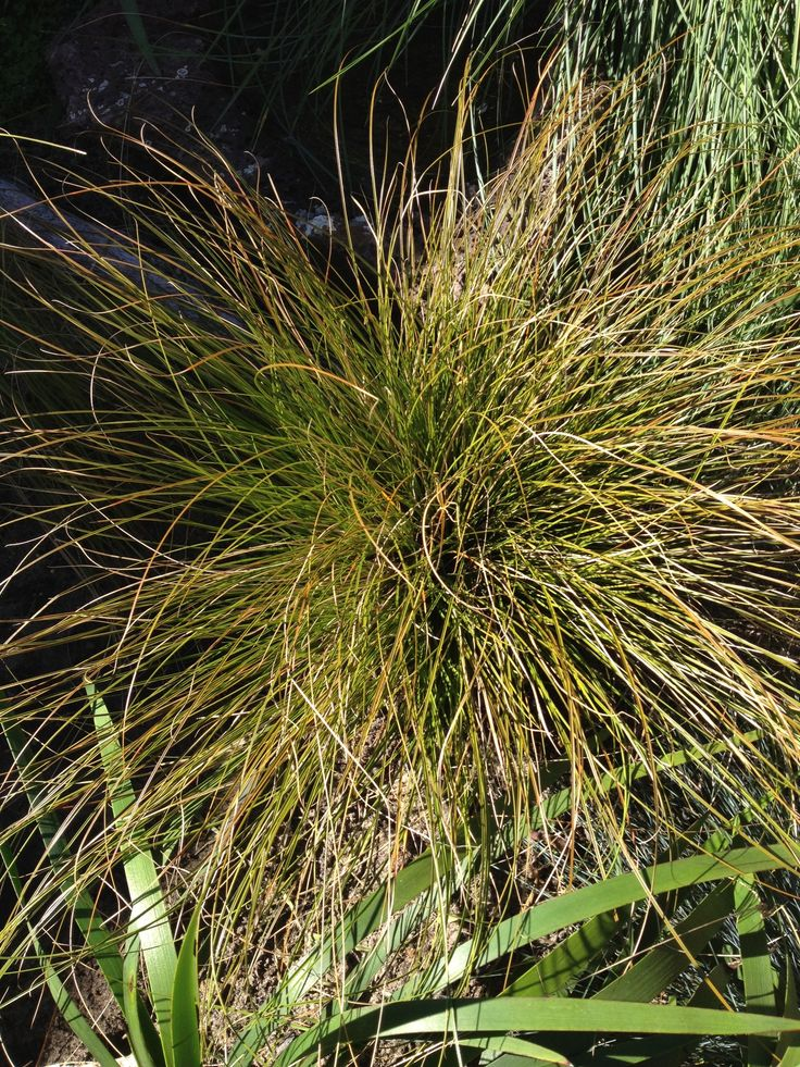 carex testacea  ornamental grass with golden tips  another non aussie this time from nz