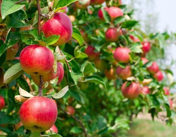 Jabłka.