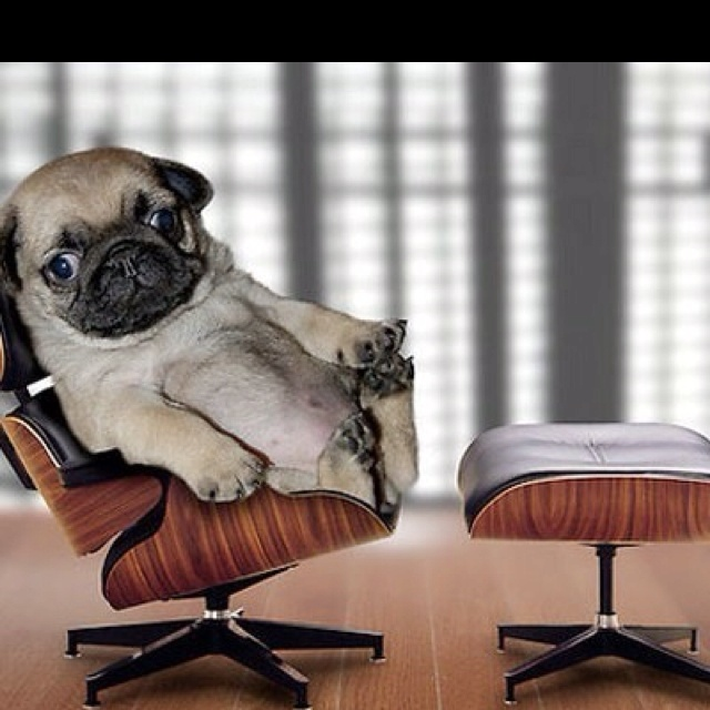 well this is just adorable: Like A Boss, Pugs Puppies, Eames, Pugs Dogs, The Offices, Offices Chairs, Baby Pugs, Likeaboss, Animal