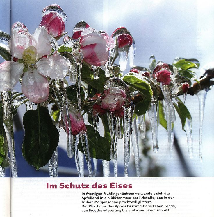 https://flic.kr/p/Qa6R81 | Lana Journal 2013-2014, Völlan, Vigiljoch, Tscherms, Burgstall, Gargazon im Meraner Land; Ice-apple blooming, South Tyrol, Italy