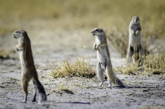 Ever met those funny little folks at Kalahari Plains Camp (Central Kalahari, Botswana)? For more infos please visit us: www.gondwanatoursandsafaris.com