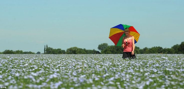A young woman walks through a field of linseed in Fenny Drayton, Leicestershire on St Swithin's Day, which is said to predict the weather for the next 40 days