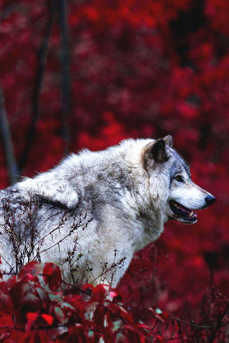 Mystical - motivationsforlife:  Timber Wolf by Jim Cumming //...