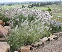 australian native grasses for landscaping - Google Search