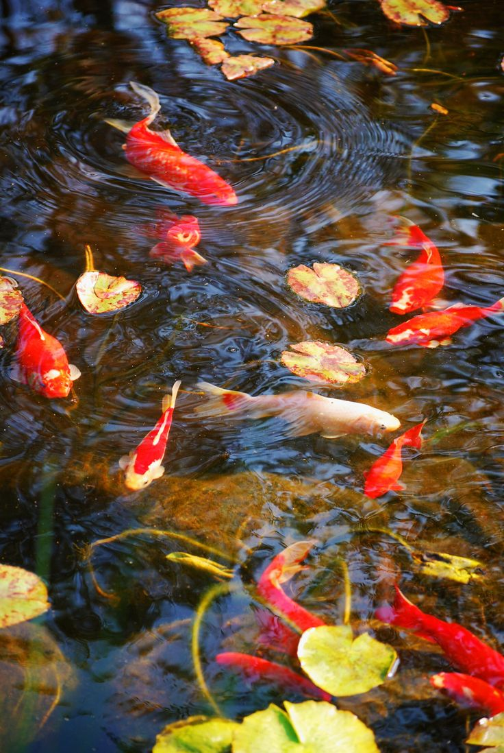 1000 images about koi fish goldfish on for Koi und goldfisch