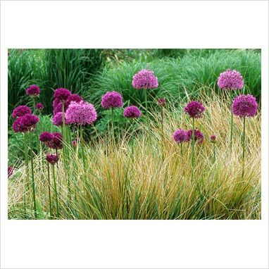 Alliums with Anemanthele lessoniana syn. Stipa arundinacea