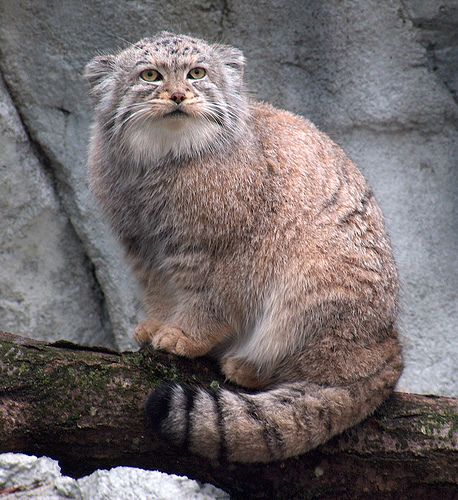 Pallas cat  The Pallas cat (Otocolobus manul), or manul, is hands down my favorite wild felid.  It's about the size of a domestic cat but much stockier, is fluffy with a thick tail, has short ears, and is unbearably cute. Native to Mongolia.