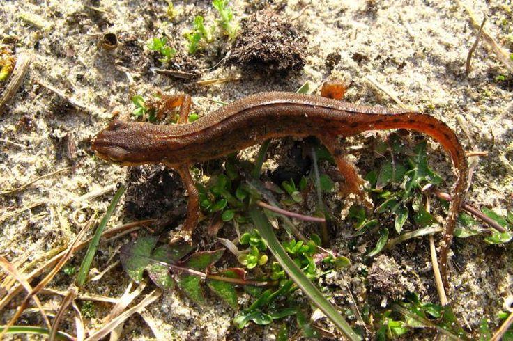 Smooth Newt - Triturus vulgaris - Wildlife Photography