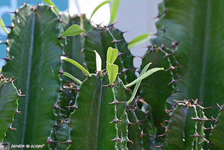 Feuilles de Euphorbia erythrea (euphorbe candélabre)