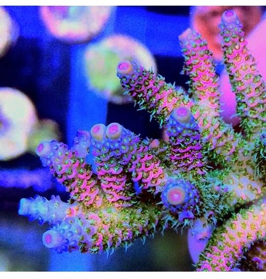 Where Do Rainbows Come From? - Siberian Rainbow Millepora - Author's photo As an avid collector of Acropora species I have noticed in the last couple of years that rainbow hued acropora